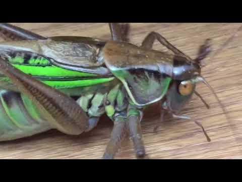 夏休み特別企画 自由研究にどうぞ 昆虫ドアップシリーズ 第一段 ニシキリギリス