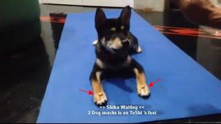 Dog trick : Waiting level 2