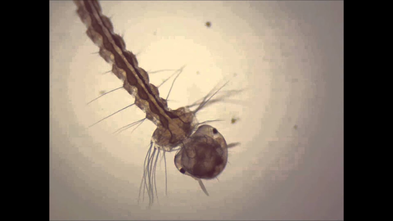 Mosquito Under Microscope