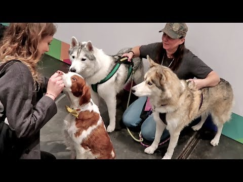 Huskies Meeting other Famous Pets | PetCon