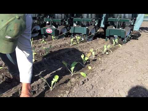 Planting Brussels Sprouts