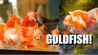 EXTREME GOLDFISH PASSION: Breeding New Types in Hawaii?