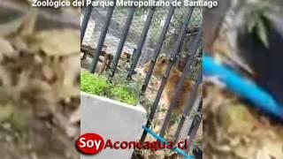 Hombre se lanza a los leones en el parque metropólitano de santiago
