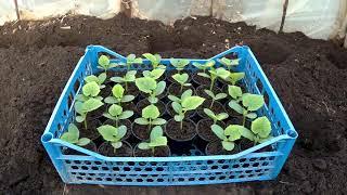 как правильно подготовить грунт с био средствами и посадить огурцы в парнике или теплице
