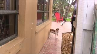 Dog Aggression: Black Labrador Almost Kills Another Dog