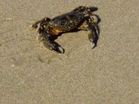 Mr. Crab on the beach of Mitiga
