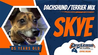 5yo Dachshund/Terrier Mix (Skye)  Best Dog Trainers in FXBG