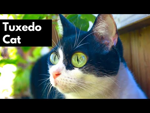 Tuxedo Cats Being Amazing - Tuxedo Cat Personality - Silly & Cute Cats 101