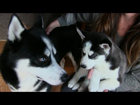 Siberian Husky Puppy meets his Dad
