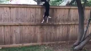 Athletic Dog Jumps Up Fence and Trees - 1067898