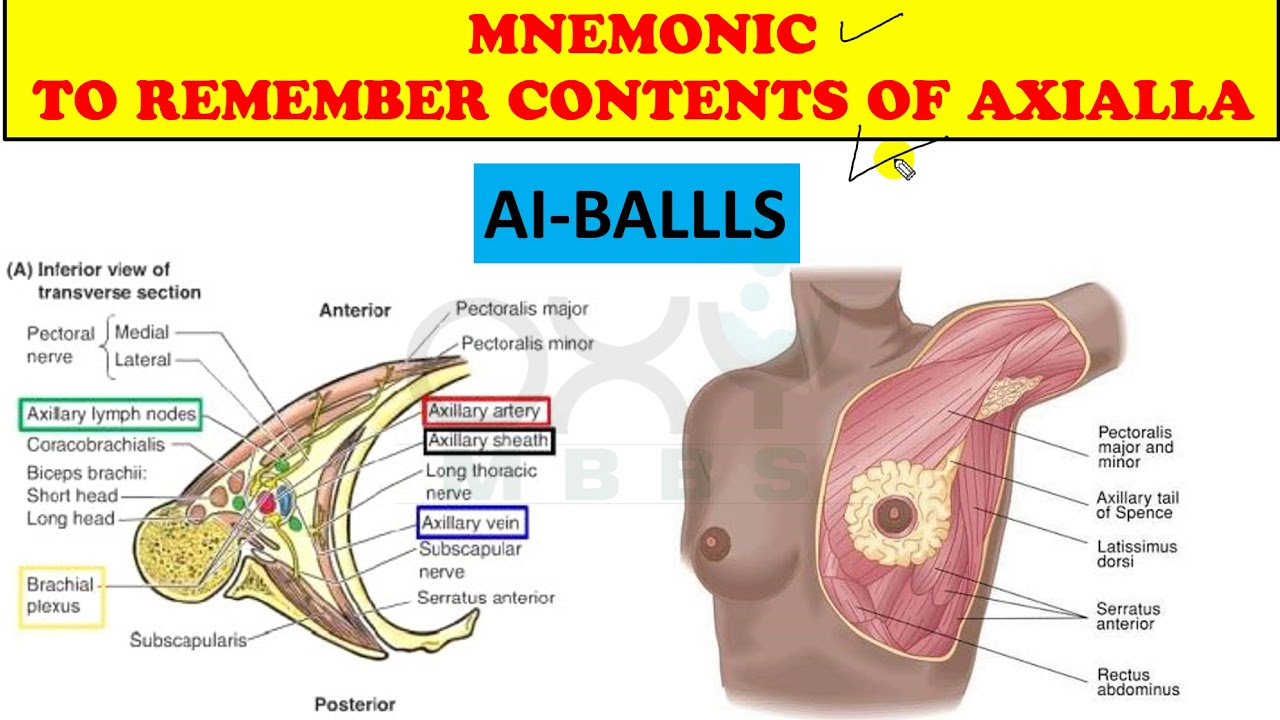hight resolution of mnemonic to remember contents of axilla