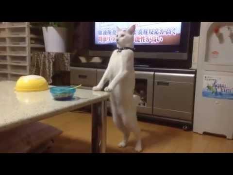 Chat marche à reculons sur les pattes arrières