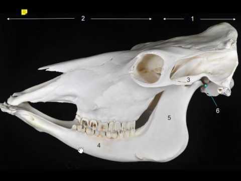 partes de un cráneo (anatomía) veterinaria - YouTube