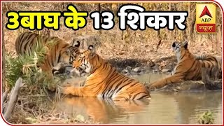 Hunt On For Man-Eating Tiger With Cubs Blamed For 13 Deaths | ABP News