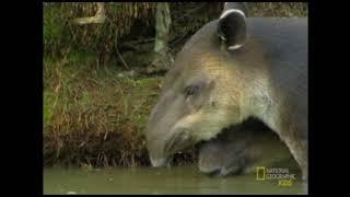 Центральноамериканский тапир (тапир Бэрда)