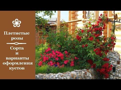 ❀ Плетистые розы: сорта и варианты оформления кустов