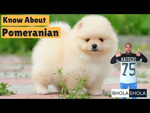 Dog Breed - Know About Pomeranian - Bhola Shola