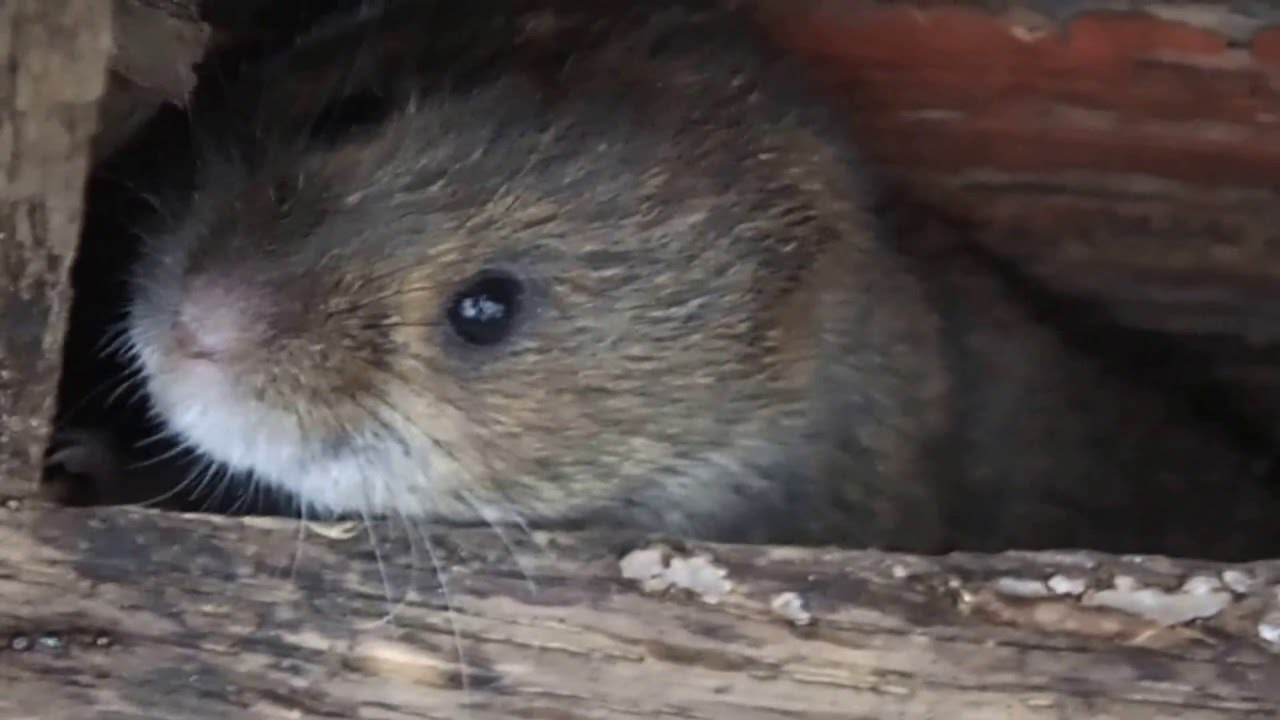 Meadow Voles - YouTube