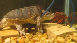 Snapping Turtle Eats Crawfish 3