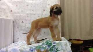 アフガン・ハウンドの子犬を販売しています。毛色:ブリンドル。 お問い...