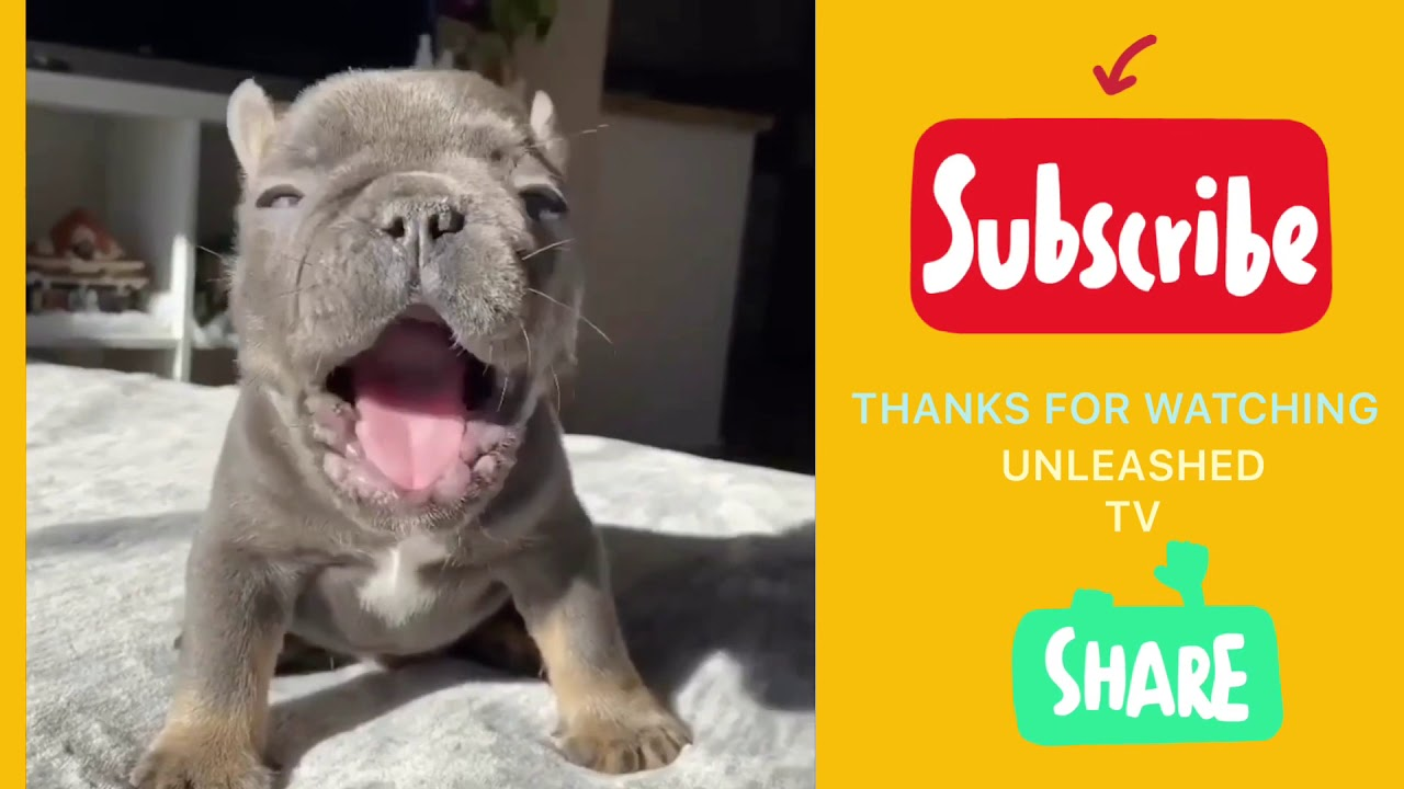 UNLEASHED TV CUTEST FRENCH BULLDOGS 2020