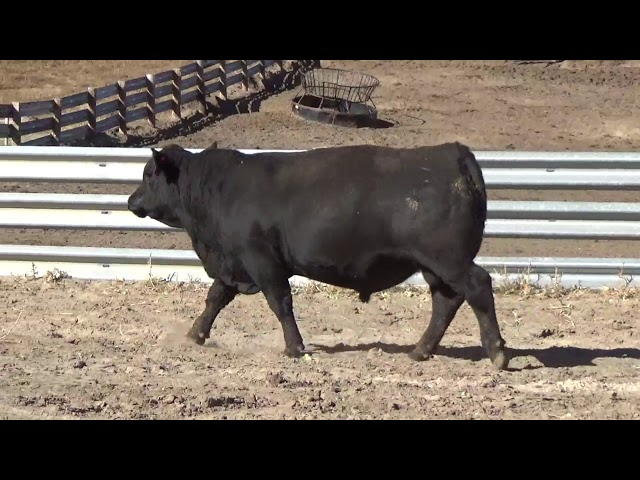 Connealy Angus Lot 80