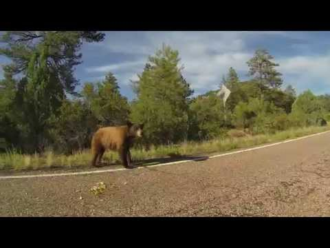 Black Bear on Road to Cibecue, Arizona, Fort Apache Indian Reservation, GP010150