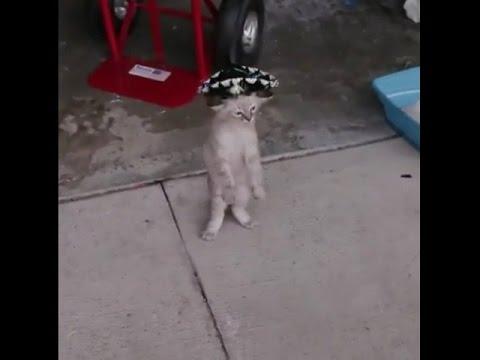 Cat dances with sombrero on it's head