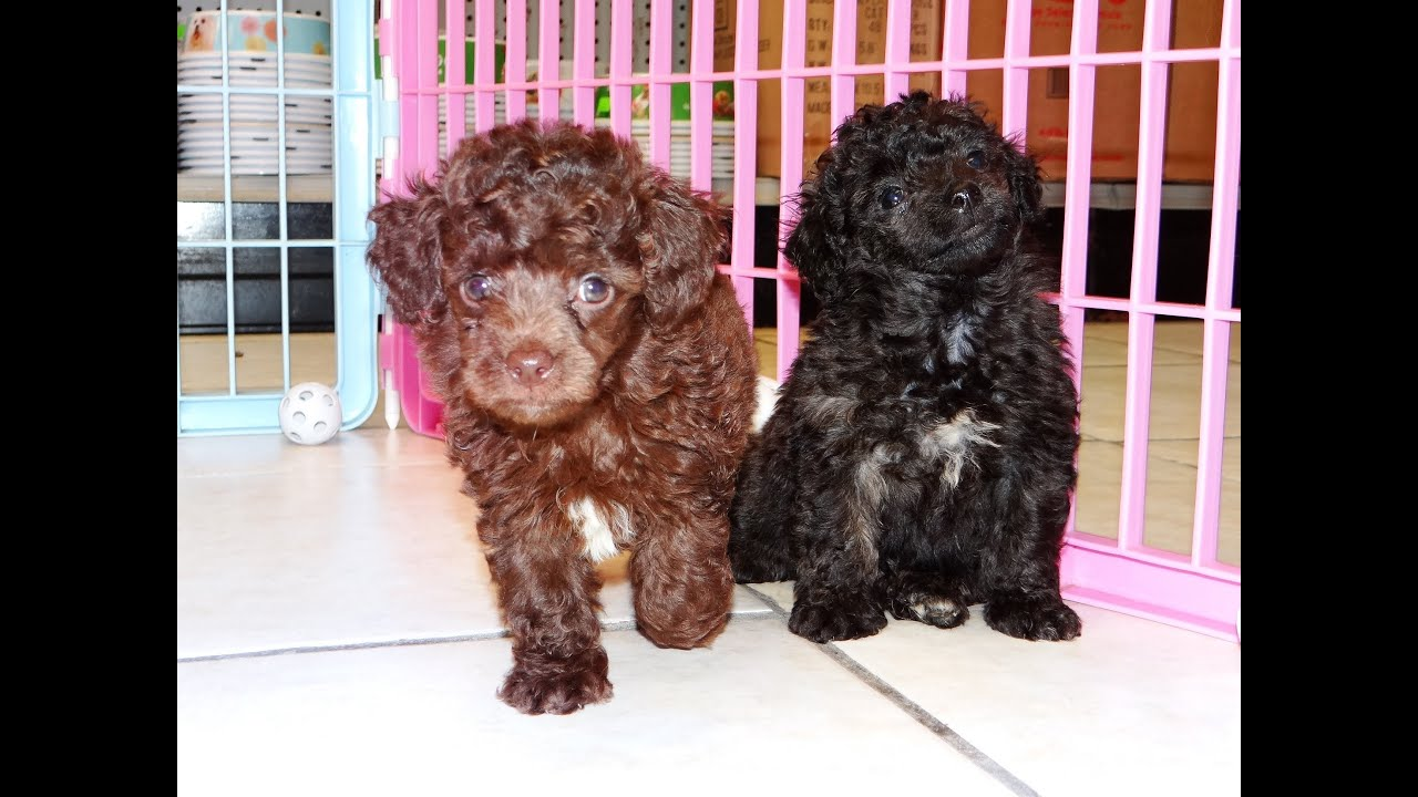 Toy Poodle, Puppies For Sale, In Winston-Salem, County ...