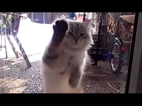 Siberian Neva Masquerade Cat Scratching Doors! Super Funny