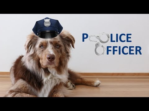 Criminal Dog - part 1/3 | Australian Shepherd & Icelandic Sheepdog