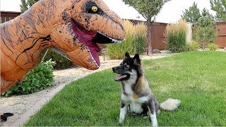puppy-kakoa-vs-t-rex-surprise-playdate