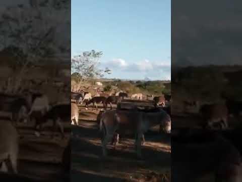 Muita crueldade jumento para o abate Itapetinga
