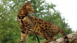 Бенгальская Кошка, Породы кошек, описание