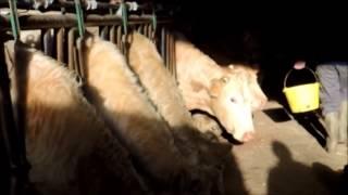 L'élevage bovin, culture agri.
