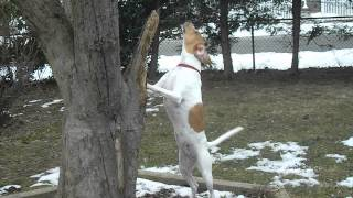 Treeing Walker Coonhound Treeing ... Something