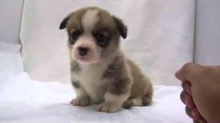 かわいいコーギーの子犬が誕生しました! ブリーダー直販にて、健康で安...