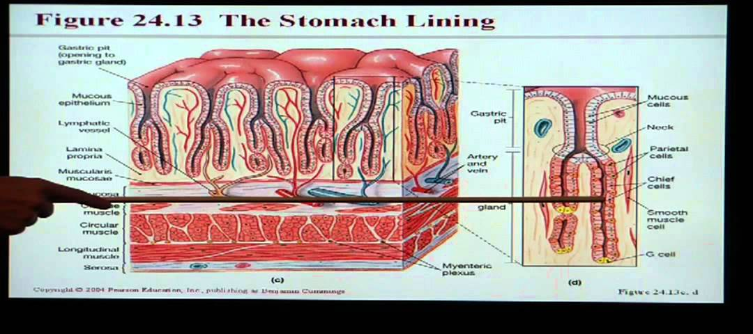 Anatomy and Physiology Help: Chapter 24 Digestive System - YouTube