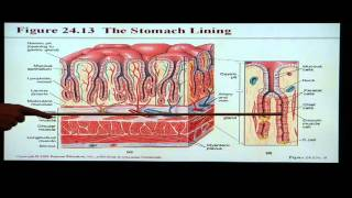 Anatomy and Physiology Help: Chapter 24 Digestive System