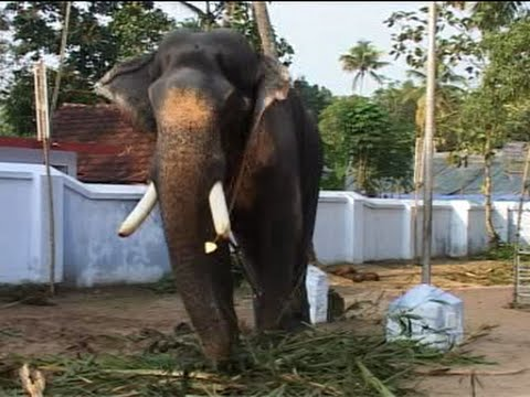Mangalamkunnu Ganapathi Star Elephant Kerala Elephant
