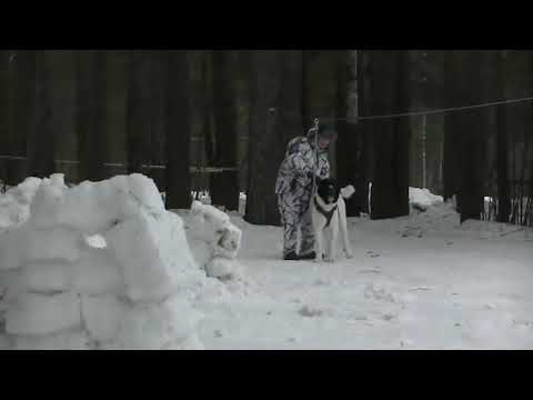 Алабай VS Волк ( крутой тест) Hd_Mp4