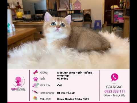 Bán Bé Mèo Anh Lông Ngắn Siêu Dễ Thương Màu Black Golden Tabby NY25 - Mua Bán Mèo Anh Hàng Đầu TPHCM