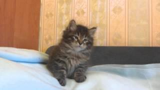 котенок сибирский 1.5 мес.