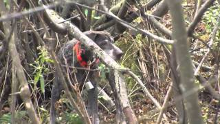 Download Video Outdoor Journal: Upland Bird Hunting, West Mountain WMA MP3 3GP MP4