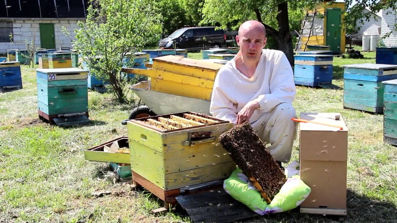 Купить продажа пчелосемей сезона 2017 года крупным и мелким оптом: 43 актуальных объявлений от пасечников украины с прямыми контактами и по выгодной цене.
