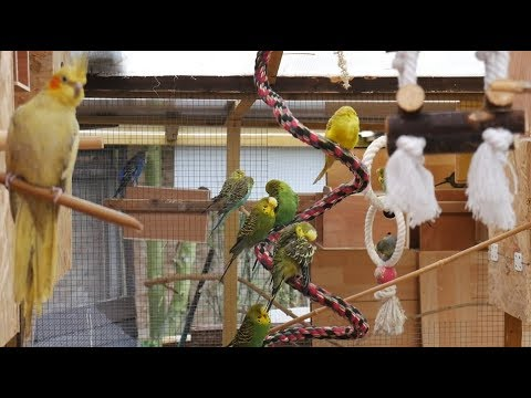 Over 3 Hours Of Budgies And Cockatiels Talking, Singing And Playing In Their Aviary
