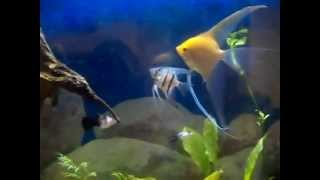 55 gallon angelfish aquarium