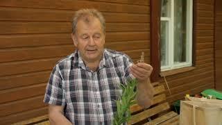 Juozas Ruolia apie onkologija, ožkarožė (Ivan čaj) ir barkūno