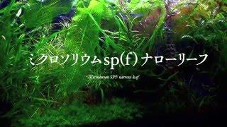 ミクロソリウムSPFナローリーフ(水槽用フィルタの掃除)