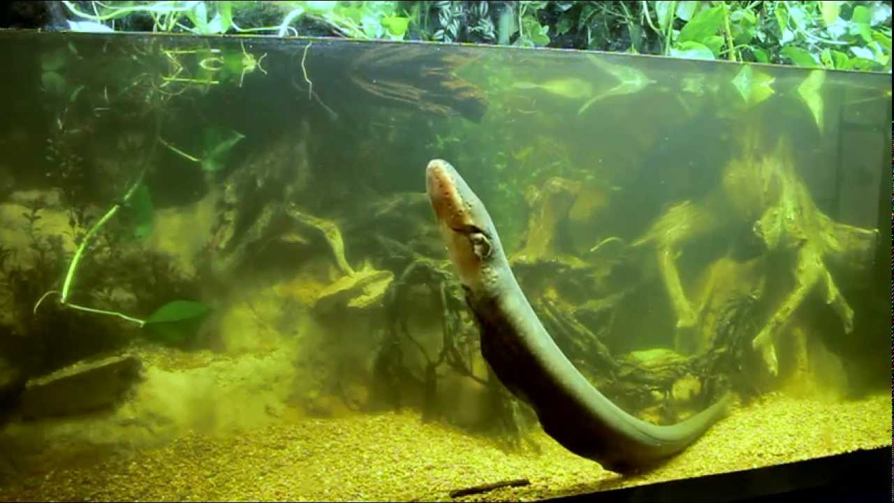 Fish tank in york - New Electric Eel At New York Aquarium